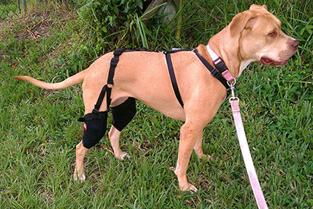 dog wearing muttknee brace