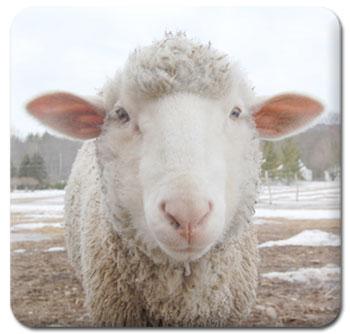 Ashton the Sheep